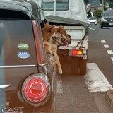 車からのぞく犬